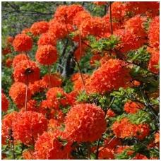 Azalija 'Mandarin Lights'