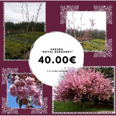 "Dekoratyvioji vyšnia/ Sakura ""Royal - Burgundy"" 2"
