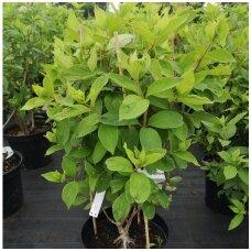 Hortenzija šluotelinė 'Grandiflora'