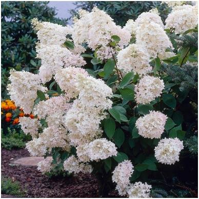 Hortenzija 'Grandiflora'