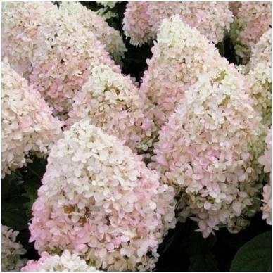 Hortenzija šluotelinė 'Magical Sweet Summer'