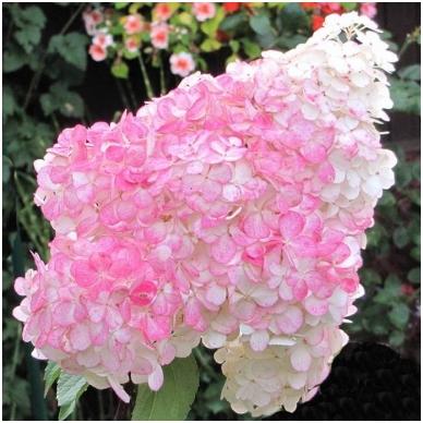 Hortenzija 'Pink Lady'