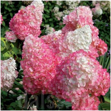 Hortenzija 'Pink Lady' 2