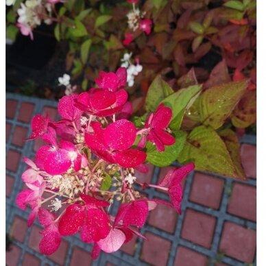 Hortenzija šluotelinė ''Diamantino''® 3