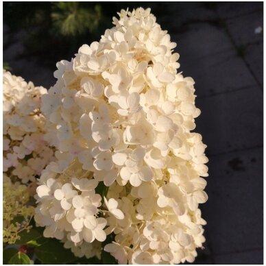 Hortenzija šluotelinė 'Grandiflora' 5