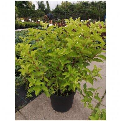 Hortenzija šluotelinė ''Little Lime''® 5