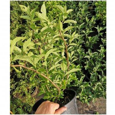 Hortenzija šluotelinė ''Little Lime''® 3