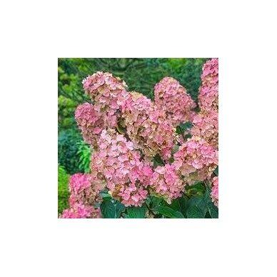 """Hortenzija šluotelinė """"Pink Diamond"""" 3"""