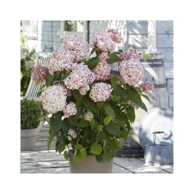 Hortenzija šviesioji ''Candybelle® Bubblegum'' 2
