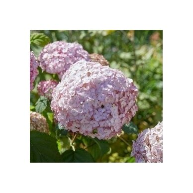 Hortenzija šviesioji ''Candybelle® Bubblegum'' 4