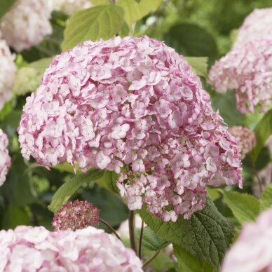 Hortenzija šviesioji ''Candybelle® Bubblegum''