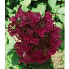 Hortenzija šluotelinė ''Wim's Red'' PBR