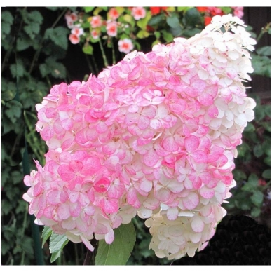 Hortenzija šluotelinė 'Pink Lady' 2