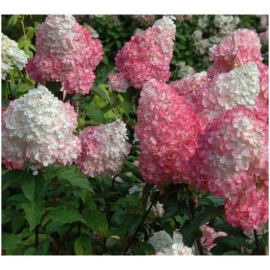 Hortenzija šluotelinė 'Pink Lady'