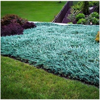 Kadagys 'Blue Carpet'