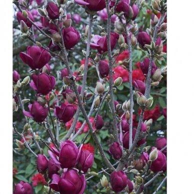 "Magnolia ""Genie""® 3"
