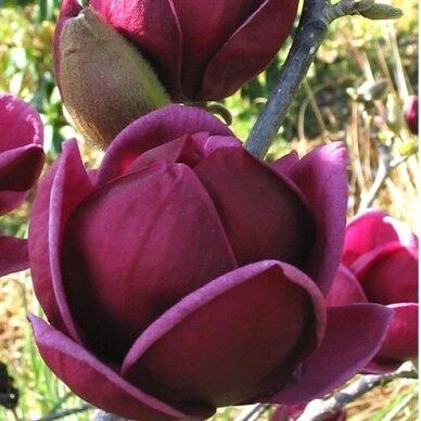 "Magnolia ""Genie""® 2"