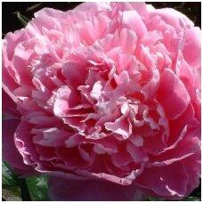 Medėjantis bijūnas rožinis