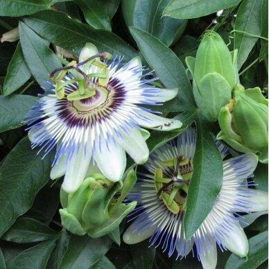 Pasiflora mėlynoji 2