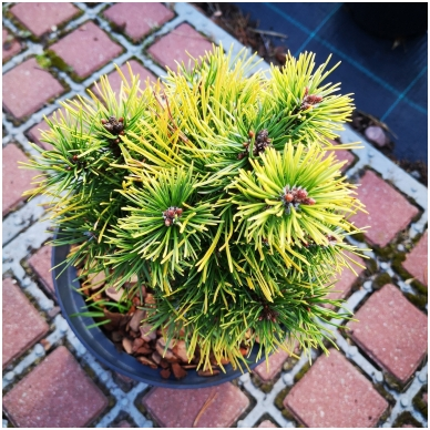 Pinus mugo 'Ophir' 2