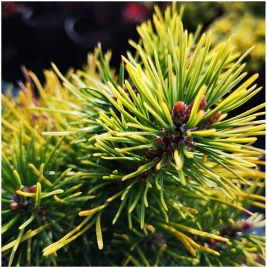 Pinus mugo 'Ophir' 3