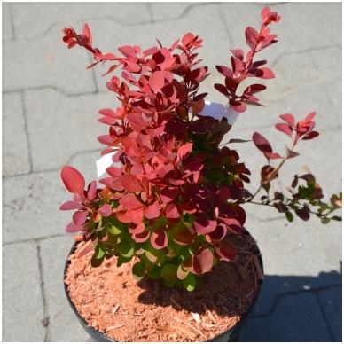 Raugerškis tiunbergo ''Red Compact'' PBR  ® 3