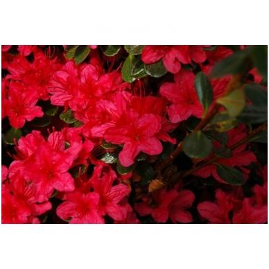 Rododendras (AJ) 'Hino Crimson' 3
