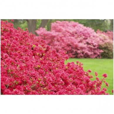Rododendras (AJ) 'Hino Crimson' 2