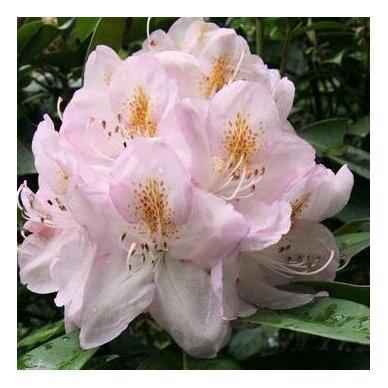 "Rhododendras ""Gomer Waterer"" 3"