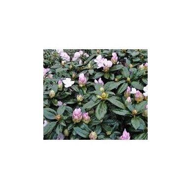"Rhododendras ""Gomer Waterer"" 4"