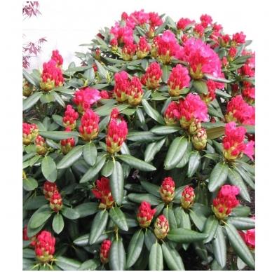 Rododendras (Y) 'Fantastica'