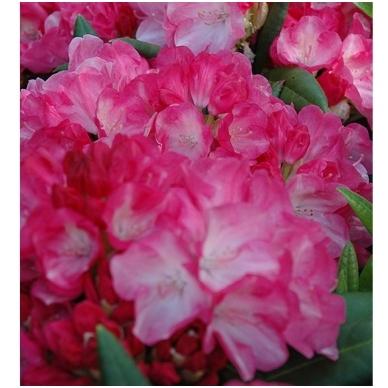 Rododendras (Y) 'Fantastica' 2