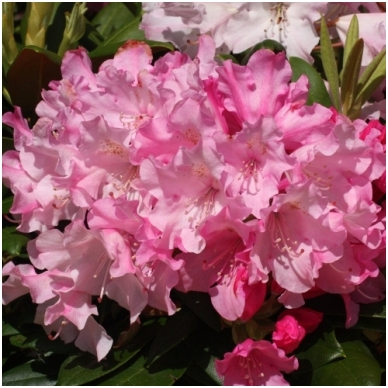 Rododendras (Y) 'Kalinka'
