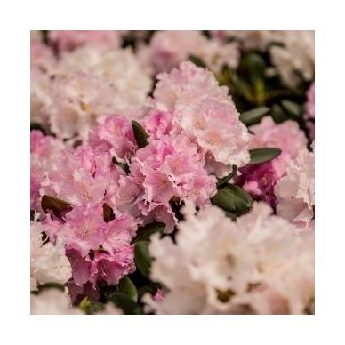 Rododendras (Y) 'Silberwolke'