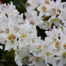 """Rododendras """"Cunningham's White"""""""