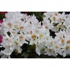 Rododendras Cunninghams White