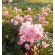 """Rožė """"Fairy"""""""