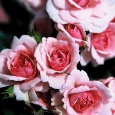 "Rožė valgomoji  ""Incredible® Juicy"""