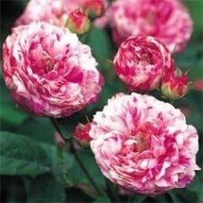 """Rožė """"Tricolor Fairy"""""""