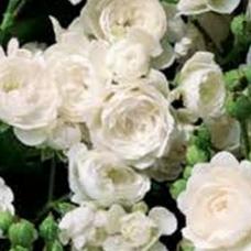 "Rožė "" White Fairy"""