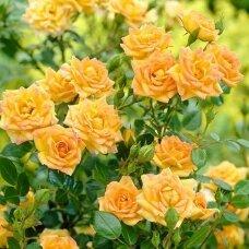 "Rožė ""Yellow Fairy"""
