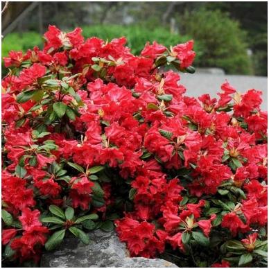 Rododendras 'Scarlet Wonder'