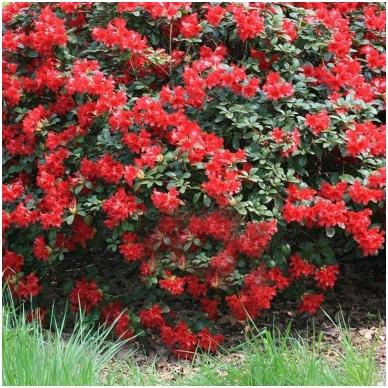 Rododendras 'Scarlet Wonder' 3