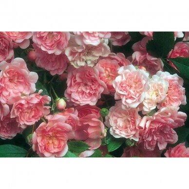 """Rožė """"Fairy"""" 2"""