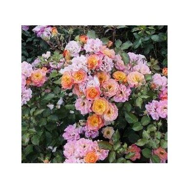 """Rožė """"Tricolor Fairy"""" 3"""