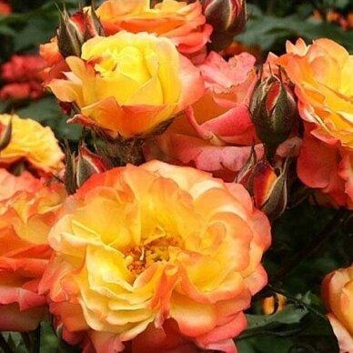 """Rožė """"Tricolor Fairy"""" 2"""