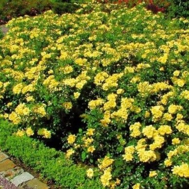"Rožė ""Yellow Fairy"" 2"