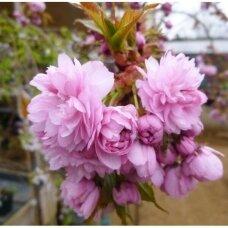 """Sakura """"Kiku-shidare-zakura"""""""