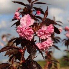 "Dekoratyvioji vyšnia/ Sakura ""Royal - Burgundy"""