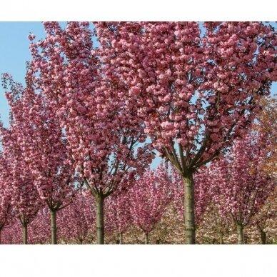 "Dekoratyvioji vyšnia/ Sakura ""Royal - Burgundy"" 4"